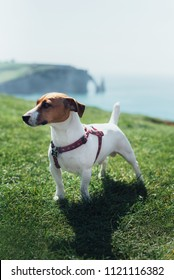 Jack russell terrier dog at cliffs of Etretat in France