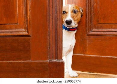 jack russell terrier dog at the door at home watching from behind with curiosity and scared