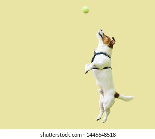 Jack Russell Terrier dog jumping straight up against yellow wall to catch tennis ball