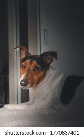 Jack russell terrier dog looking at the camera with a very cute face.