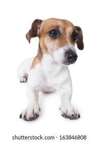 Jack Russell terrier dog lying on a white floor. Retracts uncertain glance to the side. White background. studio shot