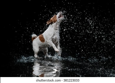 Jack Russell Terrier, dog Motion in the water, active, aqueous shooting