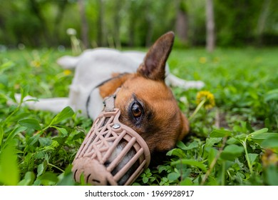 Jack Russell Terrier dog in a muzzle. A dog in a muzzle lies on the grass.