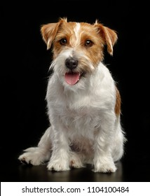 Jack Russell Terrier Dog on Isolated Black Background in studio