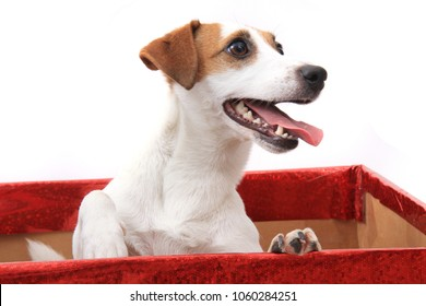 jack russell terrier dog in the paper box