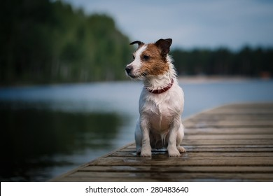 Jack Russell Terrier dog playing in water, summer, beach