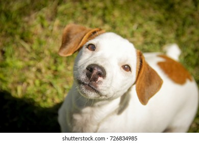 Jack Russell Terrier dog playing in the grass in summer