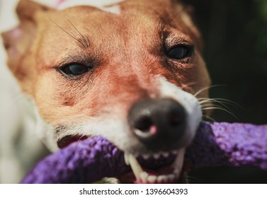 Jack Russell Terrier dog plays with puller toy in teeth.Playful little dog with short brown and white fur.Animal close up portrait