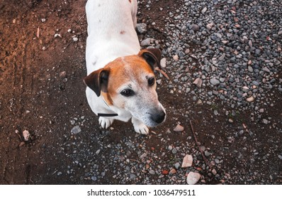 Jack Russell terrier dog portrait closeup