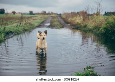 Jack Russell Terrier Dog In A Puddle