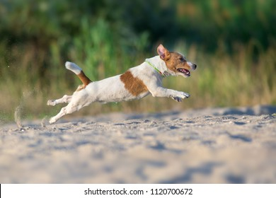 Jack russell terrier dog running on a beach of sea