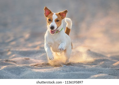 Jack russell terrier dog running on sand
