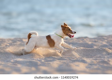 Jack russell terrier dog running on a beach of sea and play