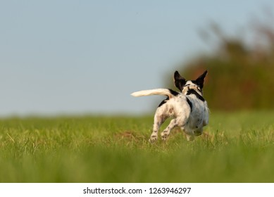 Jack Russell Terrier dog is running away over a green field. Cute runaway dog.