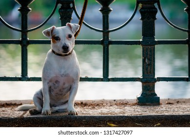 Jack Russell Terrier dog sitting on the ground in the city of Prague with unfocused background