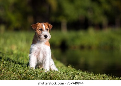 Jack Russell Terrier dog sitting on the grass by the pond in the summer