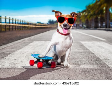 jack russell terrier dog  with  skateboard as skater , with sunglasses in summer vacation close to the beach