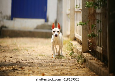 Jack Russell Terrier, Terrier dog, Small dog