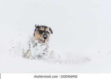 Jack Russell Terrier dog in the snow. Cute funny dogs running in front of white background