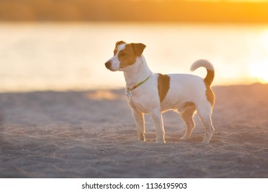 Jack russell terrier dog standing on seashore at sunset