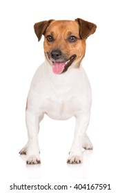 jack russell terrier dog standing on white