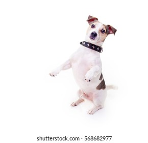 jack russell terrier, dog standing on its hind legs on white background, puppy  isolated on white background sitting on its hind legs and looking to the side, runs the command.