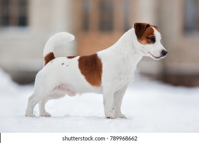 Jack Russell Terrier dog standing sideways in the winter on a snowy road, exterior, conformation