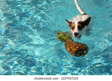 a724fc79e9a Jack Russell Terrier dog swimming towards pineapple floating in water