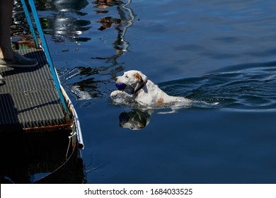 Jack Russell Terrier Dog swimming. Bringing his ball back to his owner / guardian