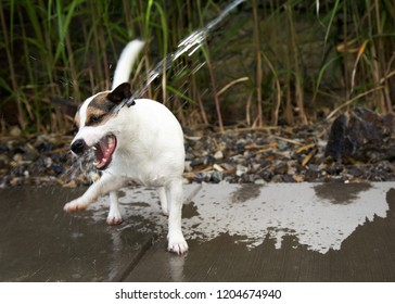 Jack Russell Terrier dog trying to catch moving water coming from a off the screen gardenhose.