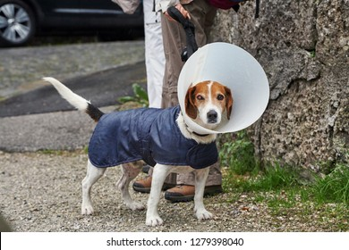 Jack Russell terrier dog with vet Elizabethan collar in a street