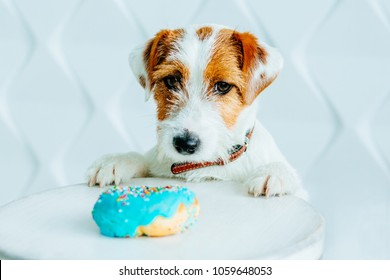 Jack russell terrier dog want to eat a donut. Sweet Doughnut dreams. White polygonal background. Pup looking at camera