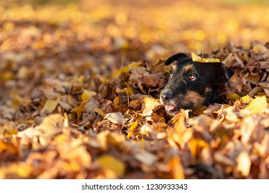 Jack Russell Terrier doggy. Cute dog buried in autumn leaves