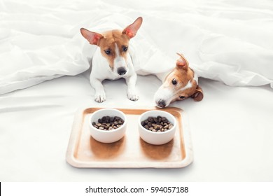 Jack Russell Terrier dogs are having breakfast in bed