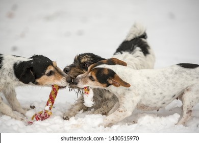Jack Russell Terrier dogs are playing with a toy togehter in winter in the snow. close-up while playing