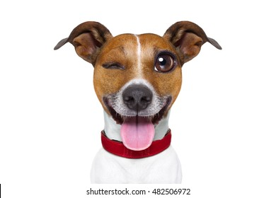 jack russell terrier emoticon or emoji dog funny silly crazy and dumb sticking out the tongue, isolated on white background