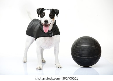 The Jack Russell terrier Eva is about to play basketball