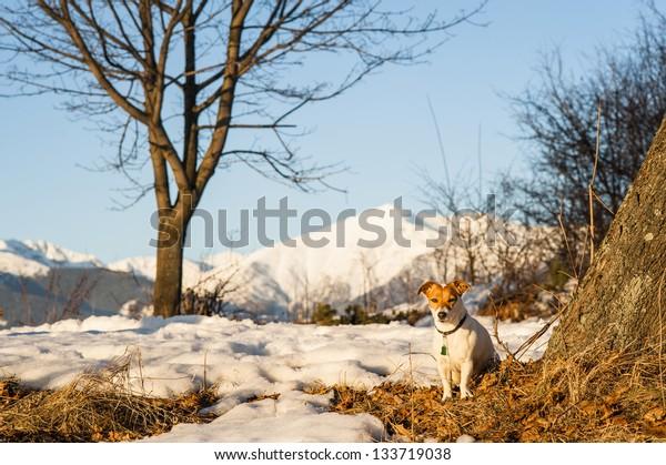 Jack Russell Terrier in evening sun