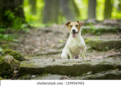 Jack Russell Terrier In The Forest