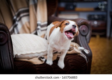Jack Russell Terrier in the interior, puppy plays cute