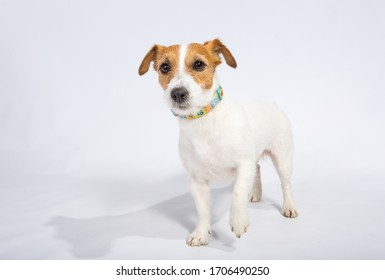 Jack Russell Terrier isolated on white in the studio. Friendly concept