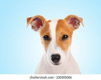 Jack russell terrier. Isolated on white background - Shutterstock ID 230305006