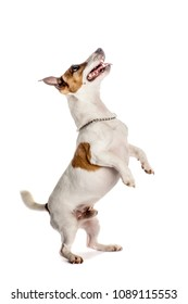 Jack russell terrier jumping or begging for food.Studio isolated.