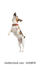Jack Russell Terrier jumping sky high