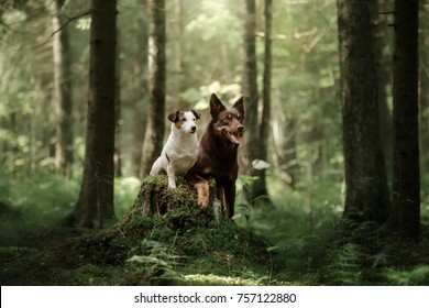 Jack Russell Terrier and Kelpie. two dogs together, friendship. Pets outdoors on the nature in the forest.