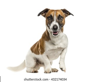 Jack Russell Terrier looking at the camera, sticking the tongue out, isolated on white