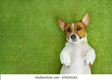 Jack russell terrier lying on a green carpet.