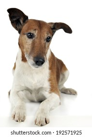 Jack Russell Terrier lying in the studio