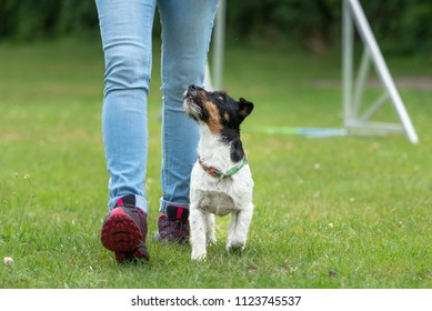 Jack Russell Terrier male dog. Perfekt heework with a small dog