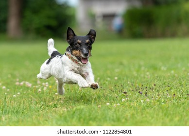 Jack Russell Terrier male. Small purebred dog is running fast over a green meadow